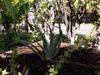 Aloe vera, aloès amer ou mazambron. Aloe vera L.