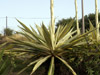 Furcraea foetida (L.) Haw.