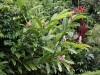 Alpinia purpurata. Fleurs exotiques.
