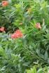 Alstroemeria L.