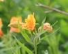 Alstroemeria L. Fleur.