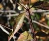 Alternanthera brasiliana (L.) Kuntze.
