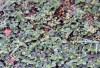 Alternanthera pungens Kunth. Brède emballage à piquants.