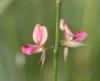 Alysicarpus vaginalis (L.) DC.