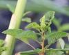 Amaranthus dubius Mart. ex Thell