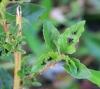 Amaranthus dubius Mart. ex Thell.