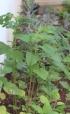 Amaranthus viridis L.