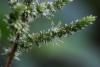 Amaranthus viridis L