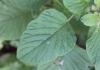 Amaranthus viridis L. Feuille.