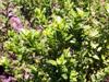 Ambaville Hubertia ambavilla Bory Arbuste endémique La Réunion