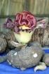 Amorphophallus paeoniifolius.