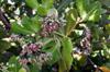 Anacardier, noix de cajou ou pomme cajou