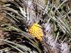 Ananas comosus (L.) Merr Ananas