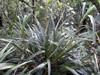 Astelia hemichrysa (Lam.) Kunth