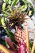 Ananas requin. Ananas bracteatus.