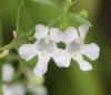 Angelonia biflora Benth.