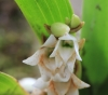 Angraecum bracteosum Balf. f. et S. Moore