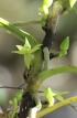 Angraecum cilaosianum (Cordem.) Schltr.