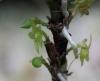 Angraecum costatum Frapp. ex Cordem