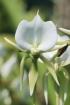 Angraecum eburneum Bory.