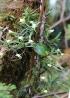 Angraecum expansum Thouars. Petit faham.