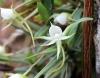 Angraecum expansum Thouars