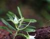 Angraecum expansum Thouars. Orchidée endémique de La Réunion.