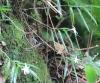 Angraecum mauritianum (Poir.) Frapp.