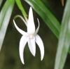 Angraecum mauritianum (Poir.) Frapp