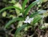Angraecum pectinatum Thouars