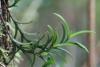 Angraecum pectinatum Thouars.