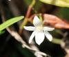 Angraecum ramosum Thouars.