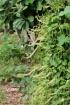 Anredera cordifolia (Ten.) Steenis.