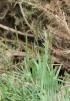 Anthoxanthum odoratum L.