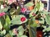 anthurium langue de feu flamant rose fleur flore île de La Réunion