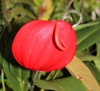 Anthurium scherzerianum Schott