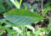 Antirhea borbonica J.F. Gmel.