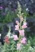 Antirrhinum majus L. Fleurs roses.