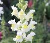 Antirrhinum majus L. Fleurs blanches.