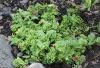 Aptenia cordifolia. Apténie cordée.