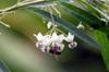 Gomphocarpus physocarpus E. Mey