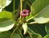 Fleur femelle. Hura crepitans.