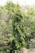 Arbre mât, Faux ashoka, Polyalthia longifolia.