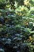 Schefflera arboricola. Arbre ombelle
