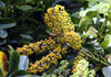 Schefflera arboricola (Hayata) Merr
