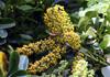Fruits : Schefflera arboricola. Arbre ombelle