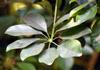 Feuilles : Schefflera arboricola. Arbre ombelle