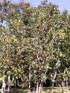Arbre orchidée Bauhinia sp