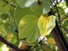 Arbre orchidée feuille Bauhinia sp
