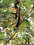 Arbre orchidée gousse Bauhinia sp